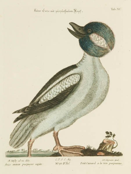 19: Catesby, Mark Hand-colored print
