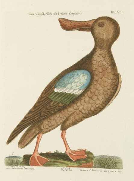 22: Catesby, Mark Hand-colored print