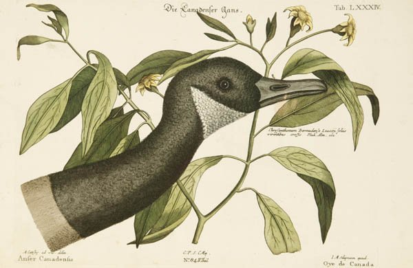 23: Catesby, Mark. 3 hand-colored prints