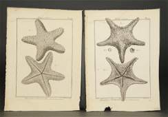 Lamarck Starfish from Tableau encyclopdique