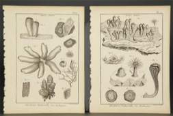 Lamarck Shells from Tableau encyclopdique