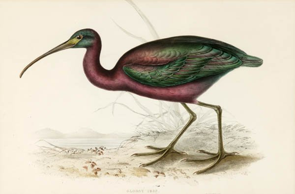 7: Gould, ''Glossy Ibis,'' large color bird litho, NF.