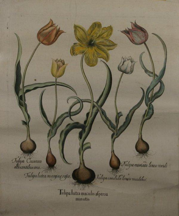 260: [Botanical]. Besler, Basil (1521-1629). Tulipa