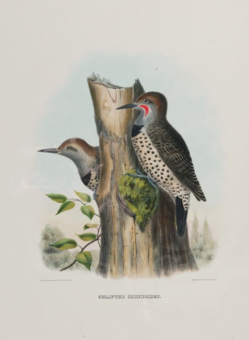 9: 2 colored lithographs of birds: Elliot & Wolf