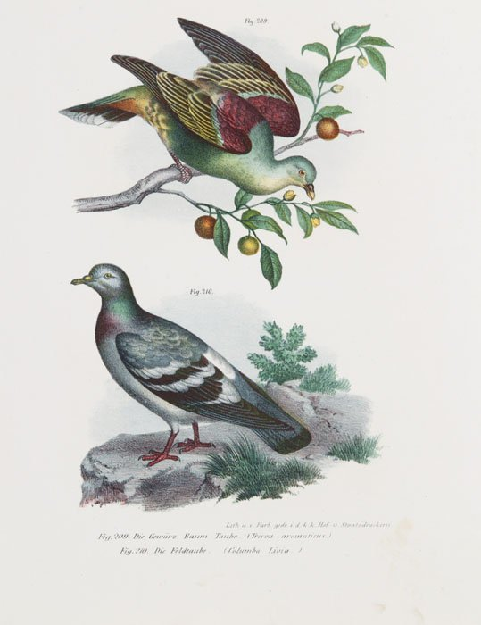 12: 36 color lithos of birds, [1862-1864].