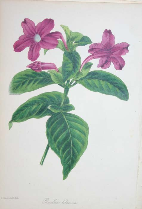 24: 157 lithographs of flowers from Paxton's.