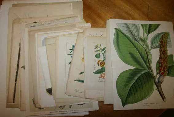 4918: ~77 botanical prints [Ca. 1800's - early 1900's].