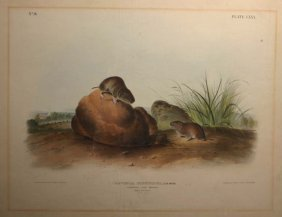5: Audubon ''Arvicula Pinetorum'' mice, folio edition.