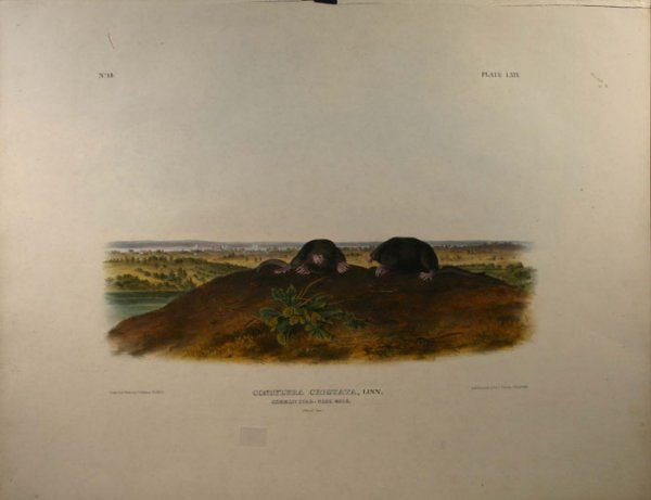 6: Audubon, Common Star-Nose Mole, folio edition