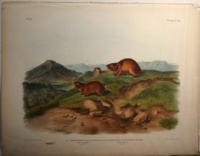 7: Audubon, 2 lemming species, folio edition.