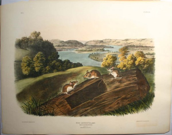 8: Audubon ''Mus Leucopus'' white footed mice, folio ed