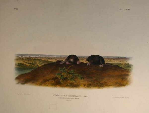 9: Audubon, Carolina Shrew, folio edition.