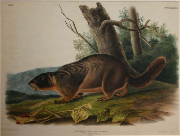 12: Audubon, Yellow Bellied Marmot, folio ed.
