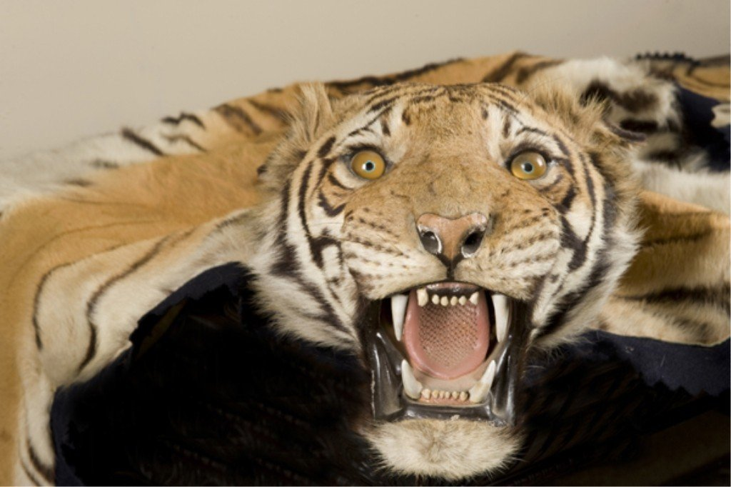 158: Indian tiger skin with full mount head.