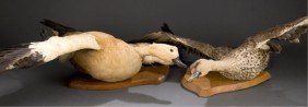 Group Of 2 Taxidermy Ducks In Flight Position.