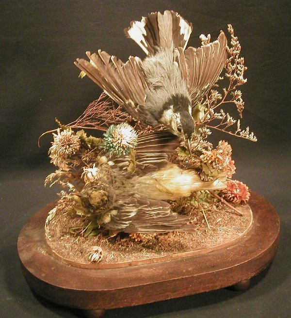 23: Taxidermy bird display covered by glass d