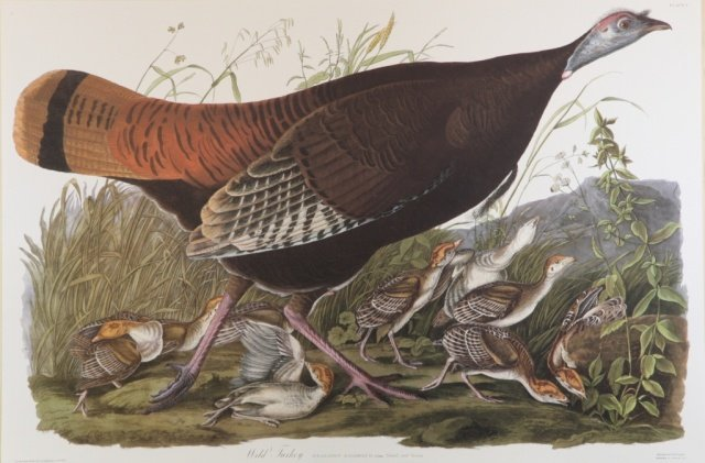 Audubon, Female Wild Turkey.
