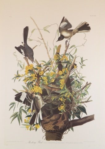 Audubon, Mockingbird.