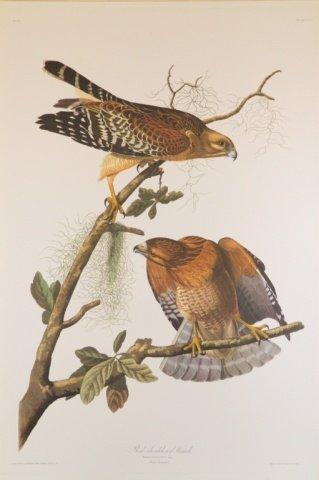 Audubon, Red-shouldered Hawk.