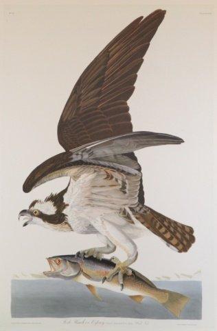 Audubon, Fish Hawk or Osprey.