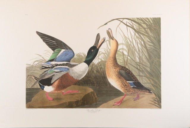 Audubon, Shoveller Duck.