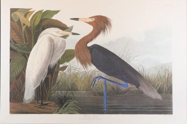 Audubon, Reddish Egret.