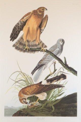 Audubon, Marsh Hawk.