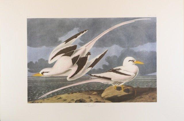 Audubon, Tropic Bird.