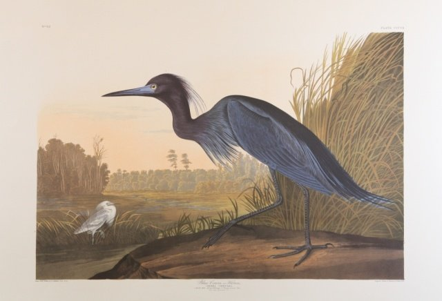 Audubon, Blue Crane or Heron.