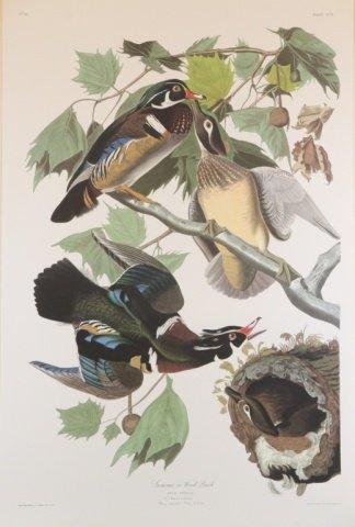 Audubon, Summer or Wood Duck.