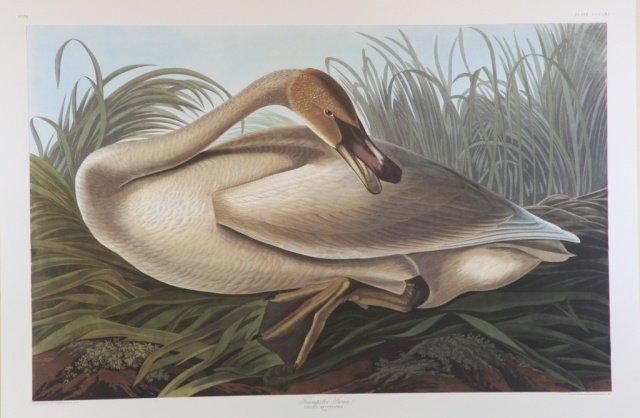 Audubon, Trumpeter Swan.