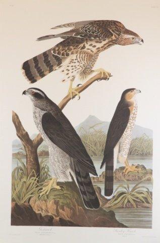 Audubon, Goshawk.