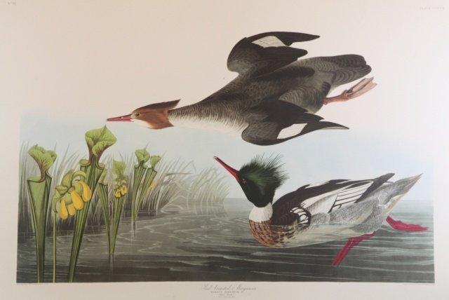 Audubon, Red Breasted Merganser.