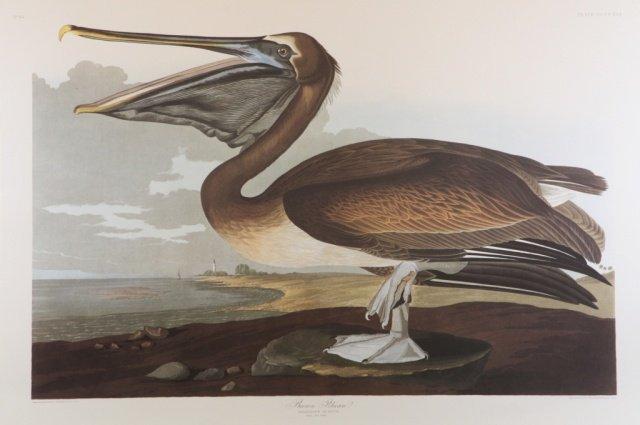Audubon, Brown Pelican.