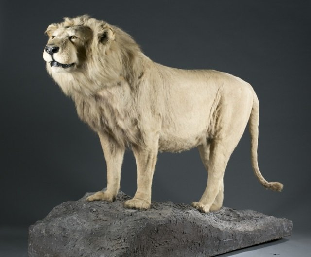 Full body male African lion taxidermy mount.