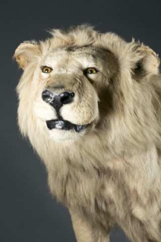 Full body male African lion taxidermy mount. - 2