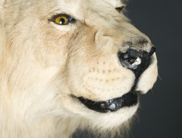 Full body male African lion taxidermy mount. - 6