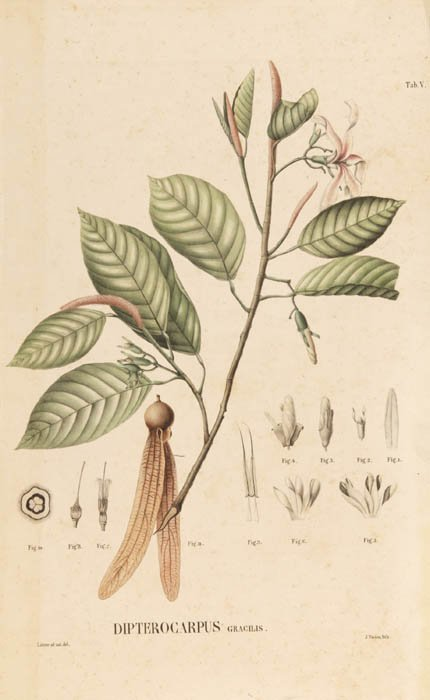 10: [Botany]. 4 Lithographs, 1 engraving. ++ afte