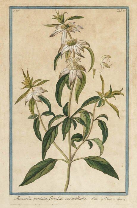 14: [Botany]. Bonelli, Georgio. Monarda Puntata,