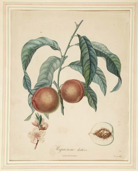 15: [Botany]. Duhamel du Monceau, H.L. 2 Stipple