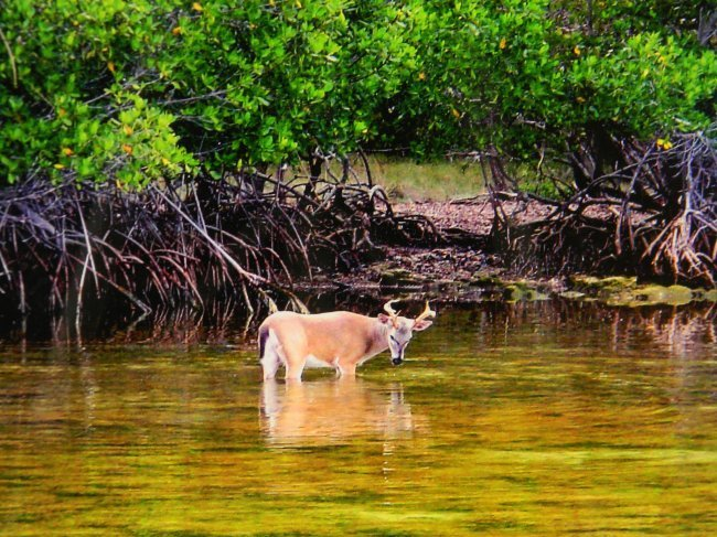 "Framed Photograph of a Deer in Everglades. 17.25"" w x"