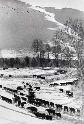 Eisenstaedt, Alfred Cattle Looking For Food In The Utah