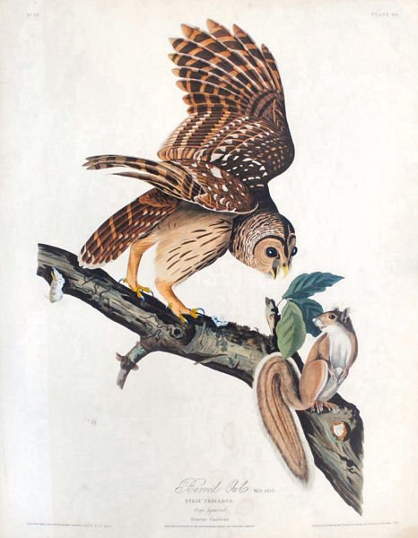 Barred Owl - John James Audubon ca 1946