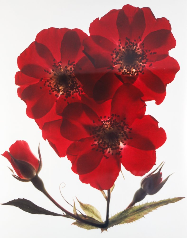 2 Ann Parker photograms Wild Roses & Red Anemone