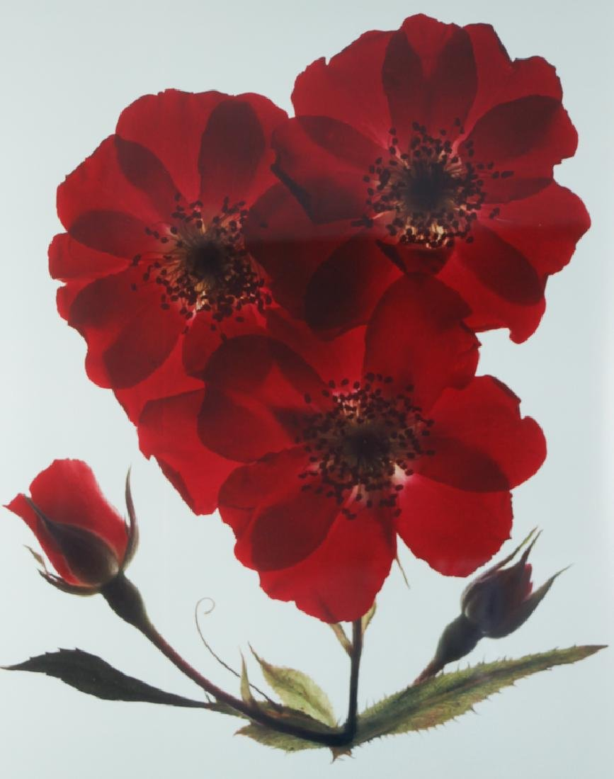 2 Ann Parker photograms Wild Roses & Red Anemone - 3