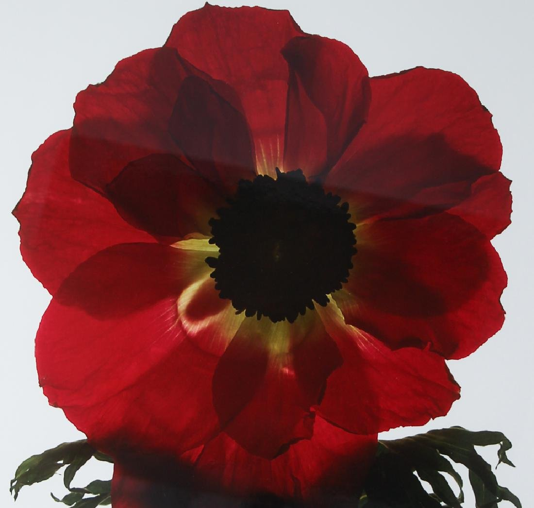 2 Ann Parker photograms Wild Roses & Red Anemone - 9