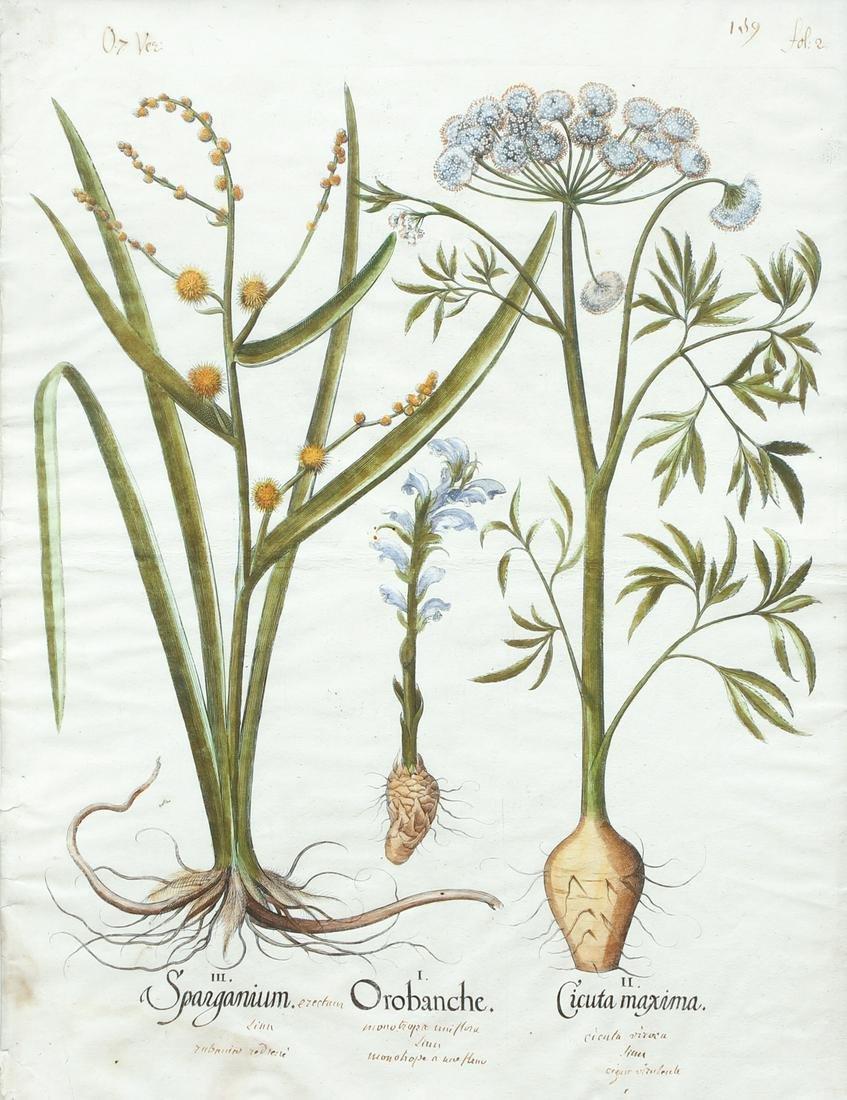 Basil Besler Sparganium Orobanche Cicuta Maxima