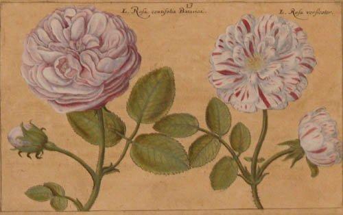 501: Filippo Arena Botanical hand colored Print