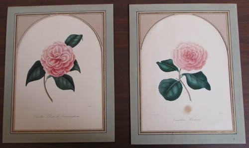10: 2 Abbe Laurent Berlese' Camellia flowers