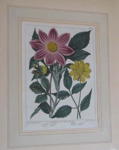 11: Dahlia's by Syd edwards engraved by Sansom